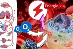 La respiration cellulaire - la production d'énergie par les mitochondries